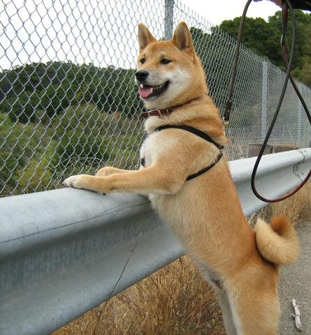 Guard dog at fence.jpg