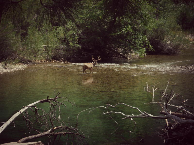 Buck Deer Kings Canyon.jpg