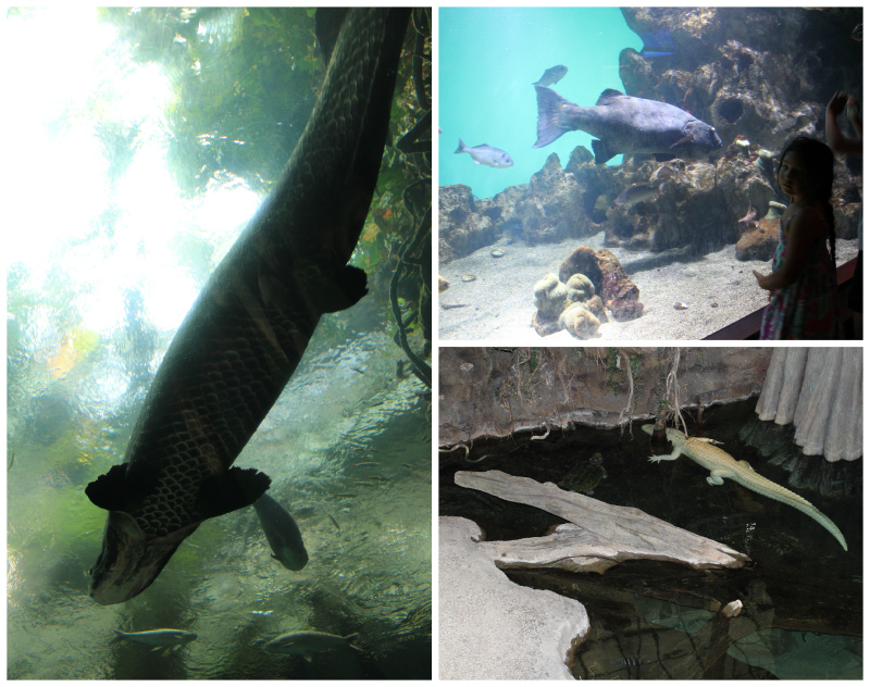 Fresh Water fish of the Amazon the Arapaima and Claude the Albino Alligator