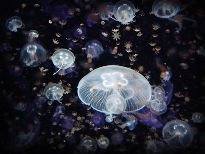 Saturday Family Fun: Sea Jellies Aquarium of the Pacific