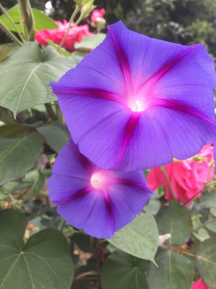 leagoodeharrisstarflower2.jpg