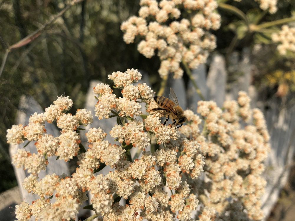 California Honey Bee on St. Catherine's Lace