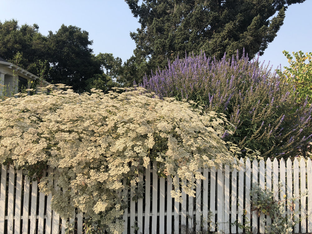 St. Catherine's Lace and purple Vitex