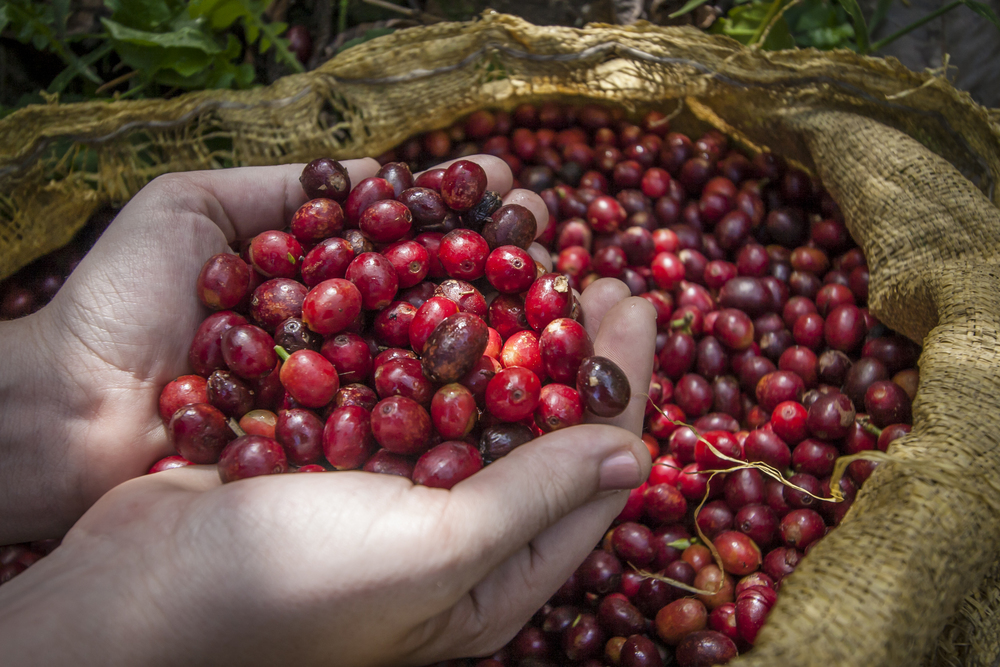 Just like any other fruit, you want to pick coffee cherries when they are at their peak ripeness.  After gathering, the cherries are hand sorted and any greens or yellows are taken out and sold at a smaller price and usually sold locally.
