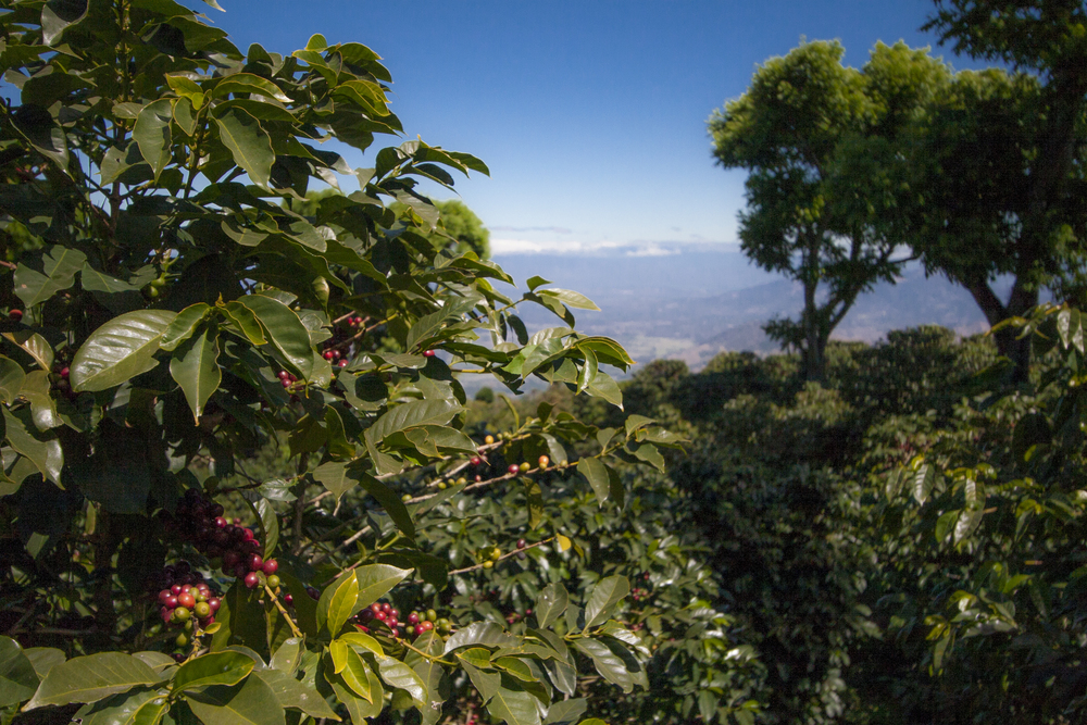 Finca Loma La Gloria is located on the side of a volcano, which makes for some of the best scenery!