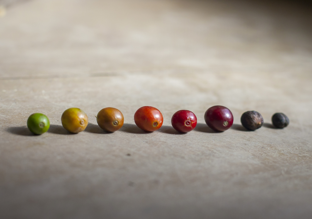 Here is a great example of the levels of ripeness of a coffee cherry!