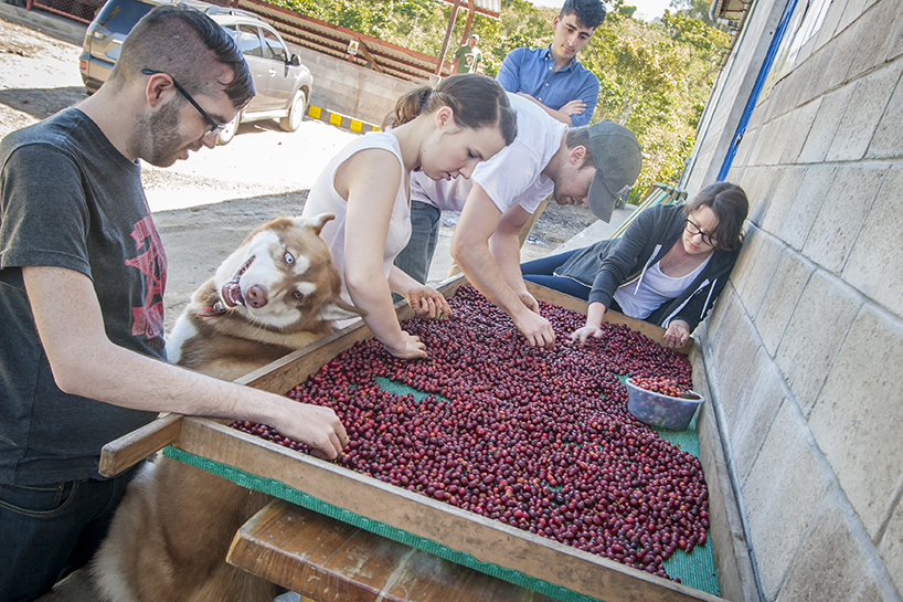 After picking our coffee, we were able to hand sort it...with a little help from Macchiato (the dog).