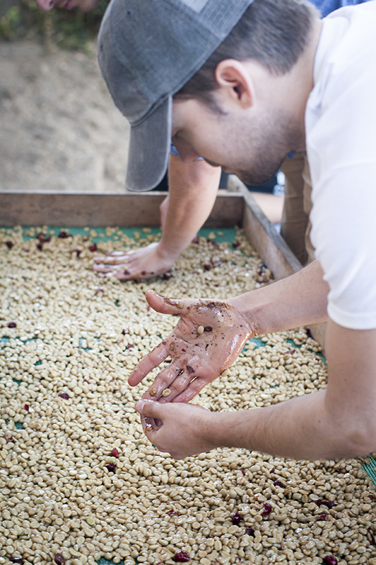 After picking out the unripe cherries, we put them through a 'pulper' which removes the coffee beans from the cherry skins.  We were then left with the slimy coffee beans.  We decided to let them dry in their mucilage, known as Honey Processing.  We spread them out to help them dry more evenly.