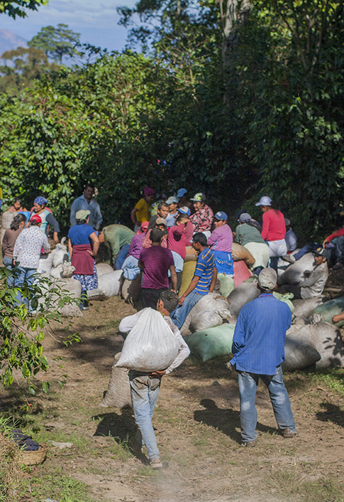 At the end of a long day picking cherries, the bags are carried down the volcano to a common area where they are sorted, weighed and hauled to the mill.