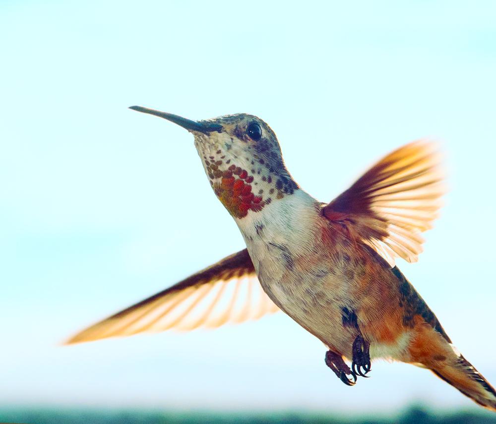 hummingbird_2.jpg