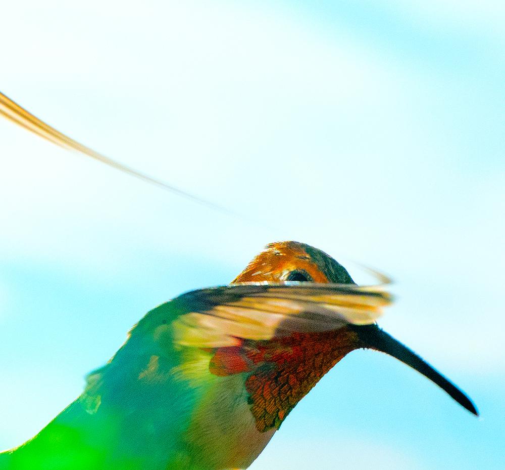 hummingbird_5.jpg