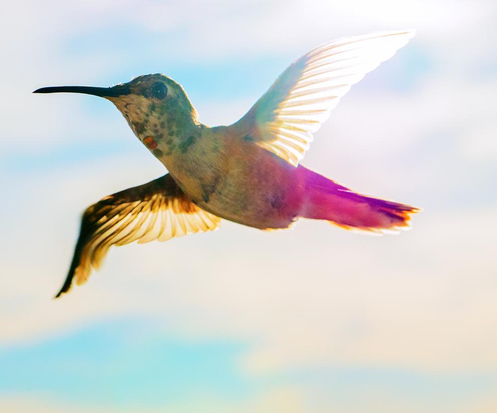 hummingbird_6.jpg