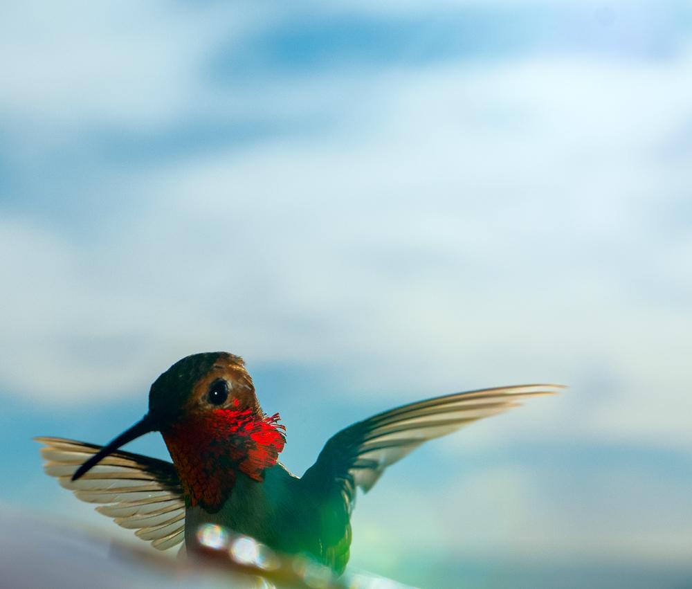 hummingbird_7.jpg