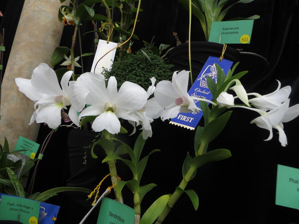 alterta orchid2014 142.JPG