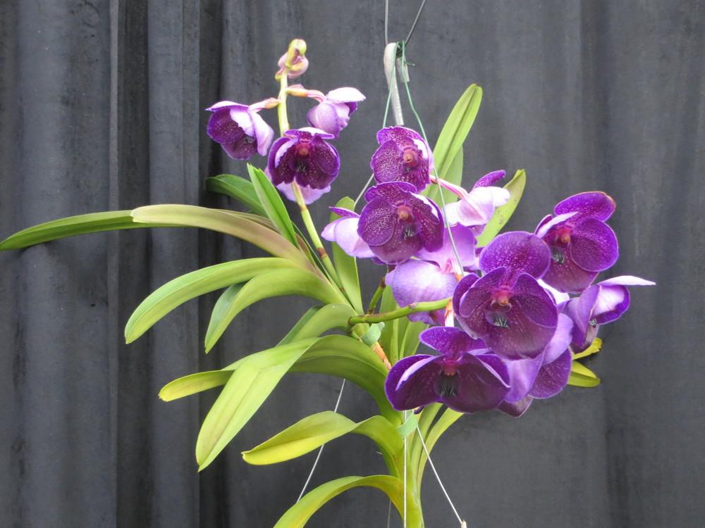 alterta orchid2014 122.JPG