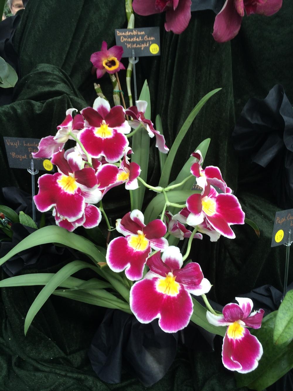 orchid show ewa 048.JPG
