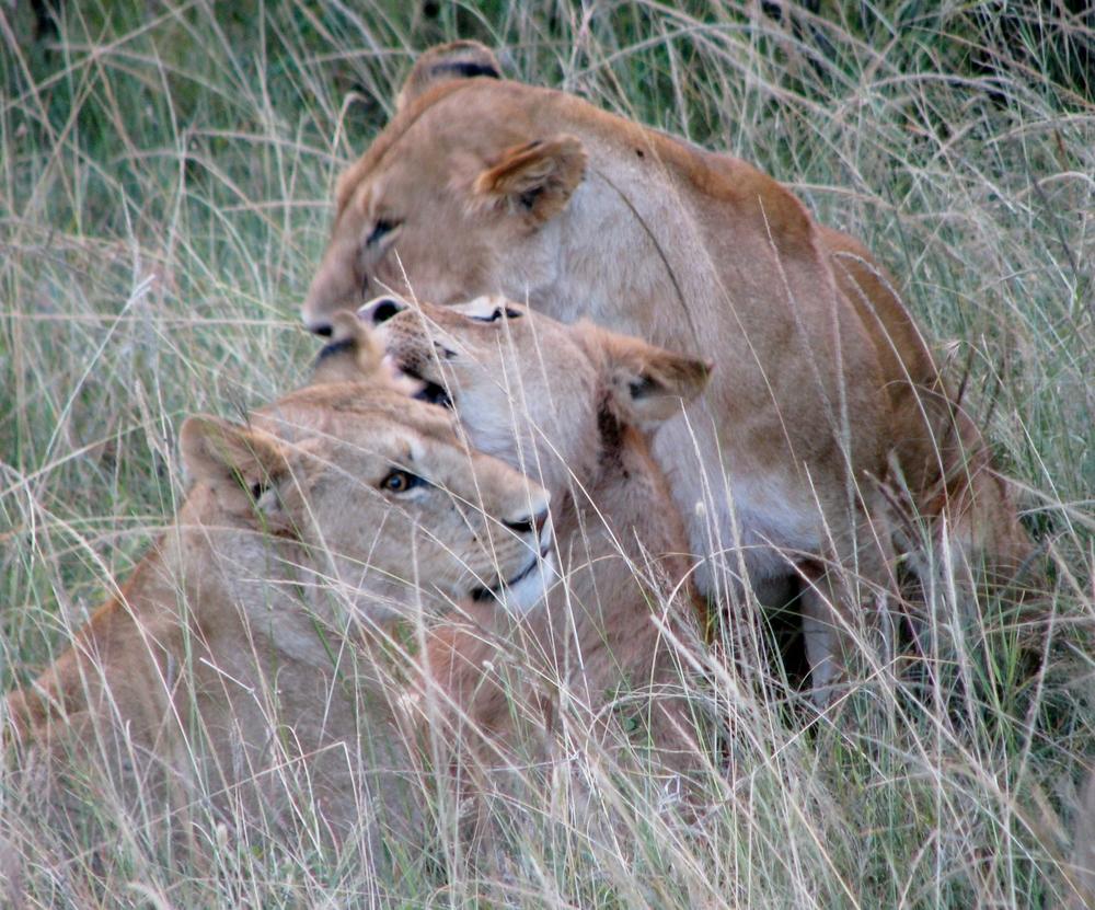 08-18-16 lions1.JPG
