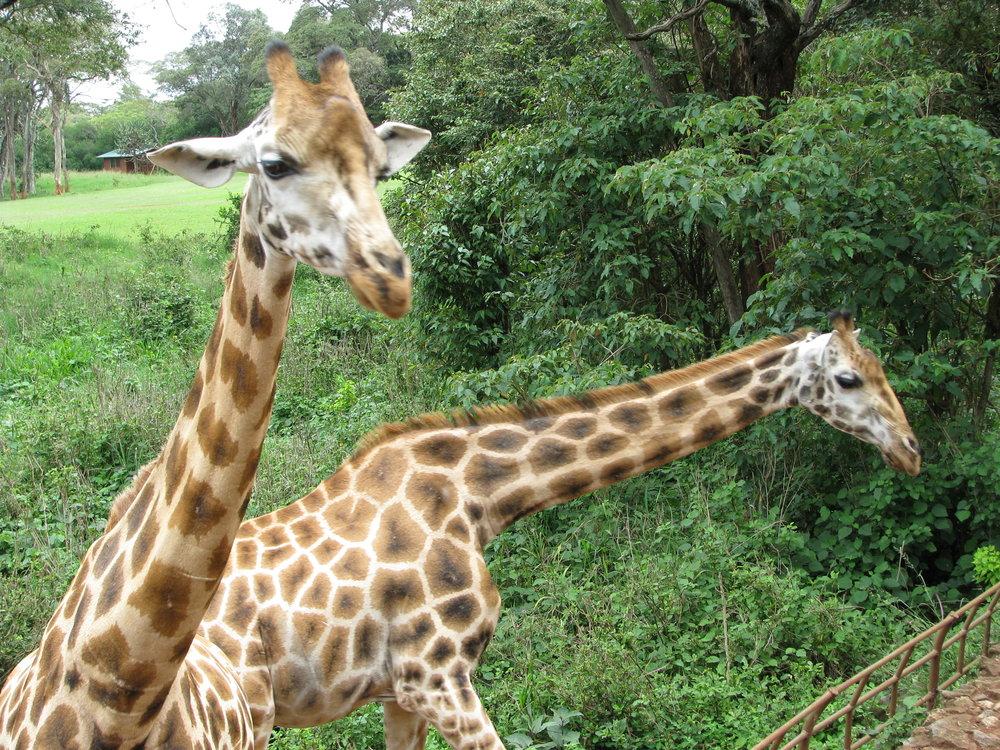 08-18-16 Giraffe3.jpg