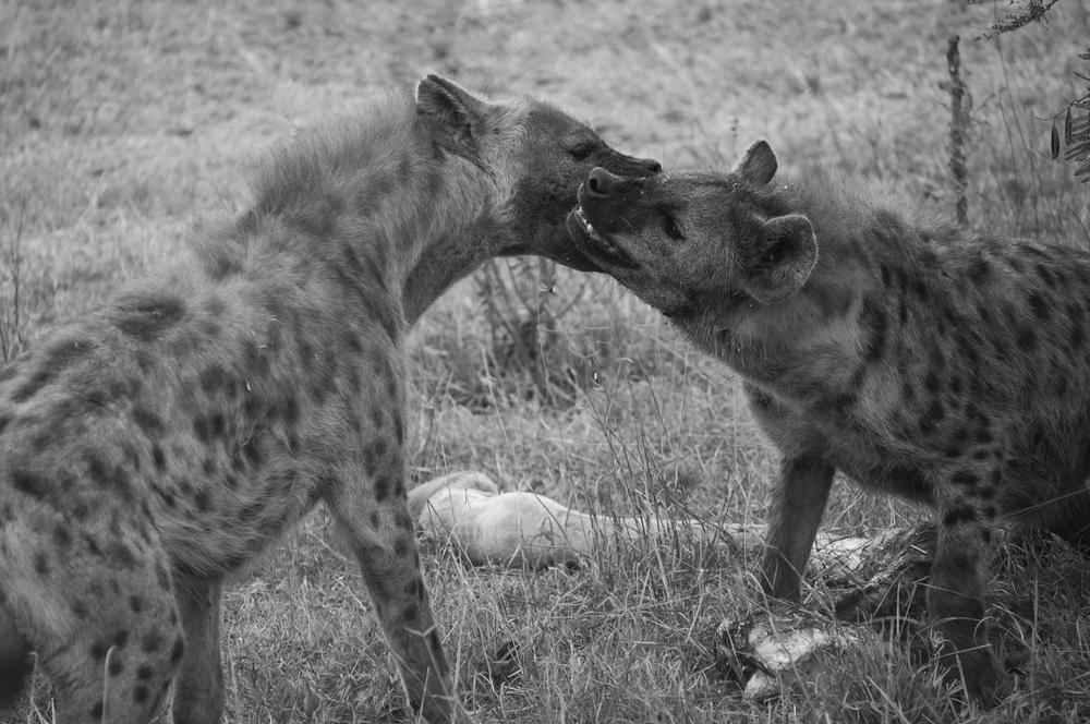 hyenas_ss.png
