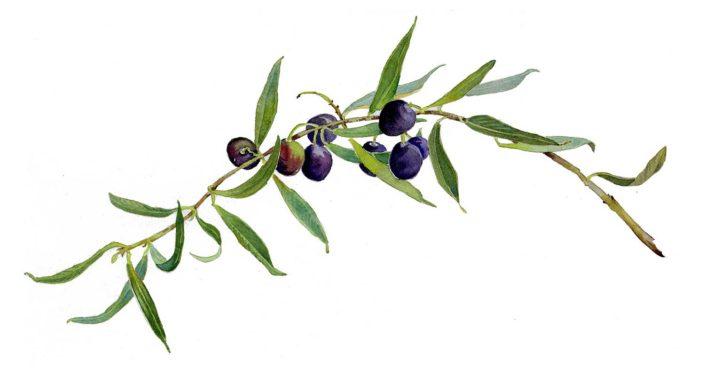 Chapman_Olive-Branch-705x376.jpg