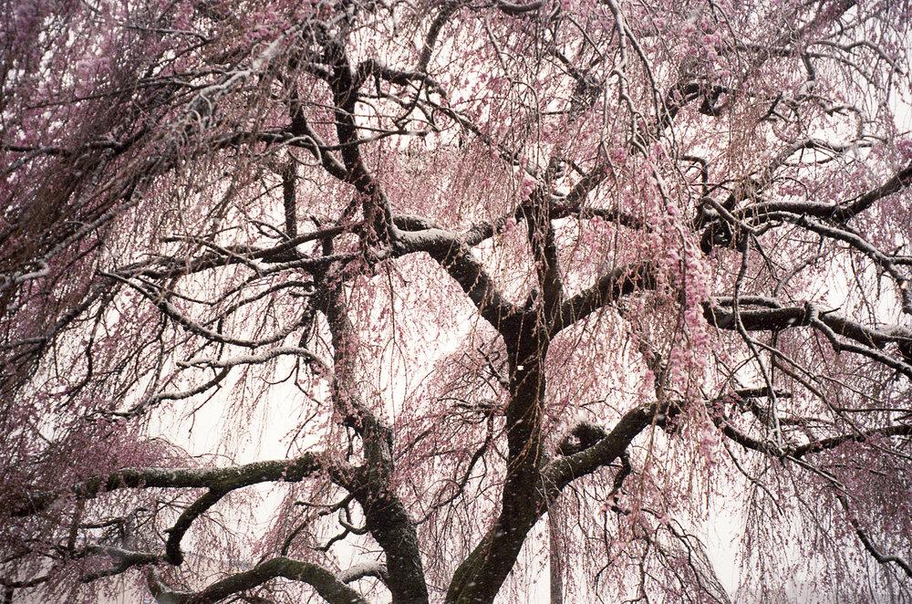 Pink snow tree