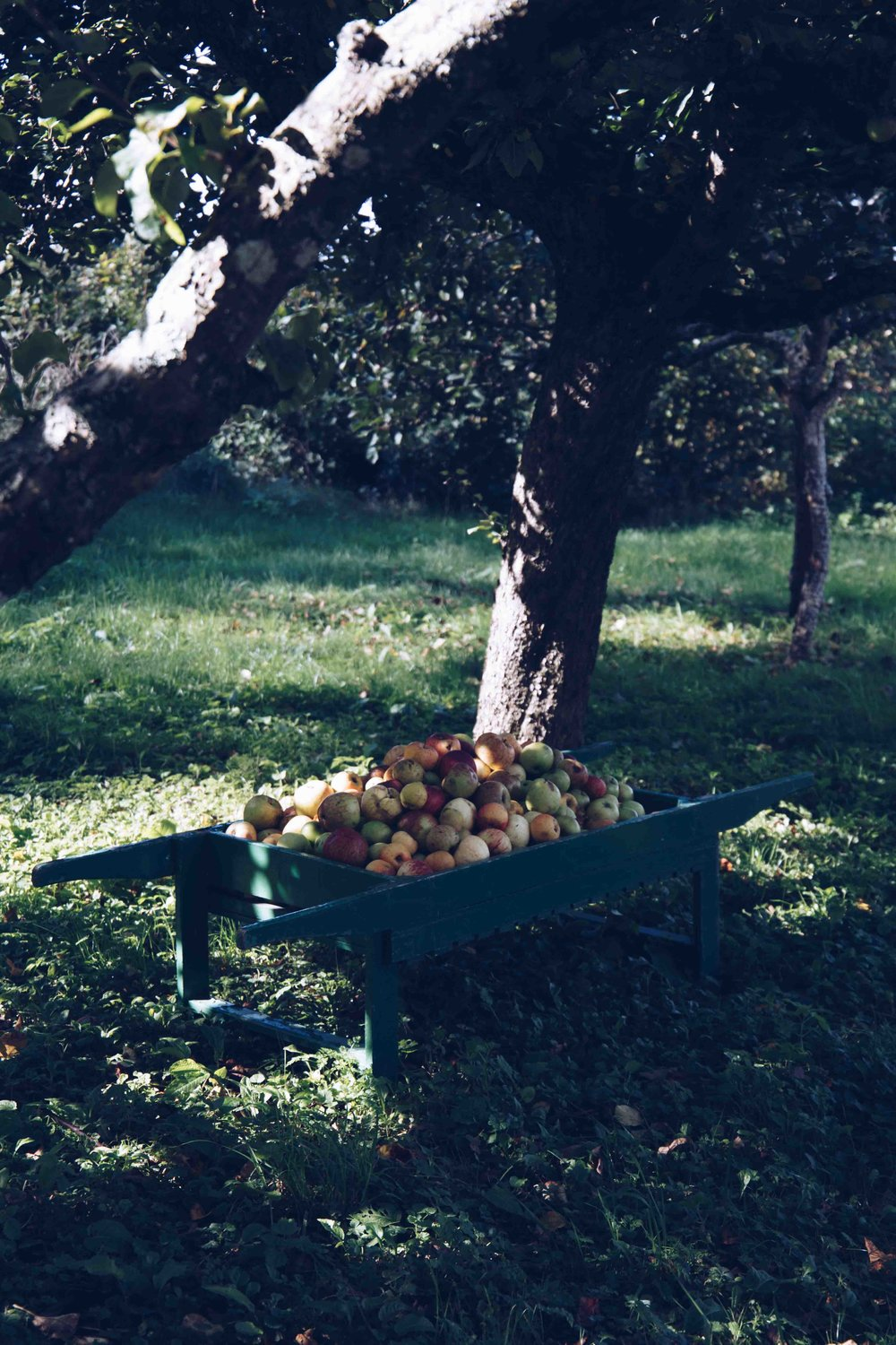 Apple season in the Orchard