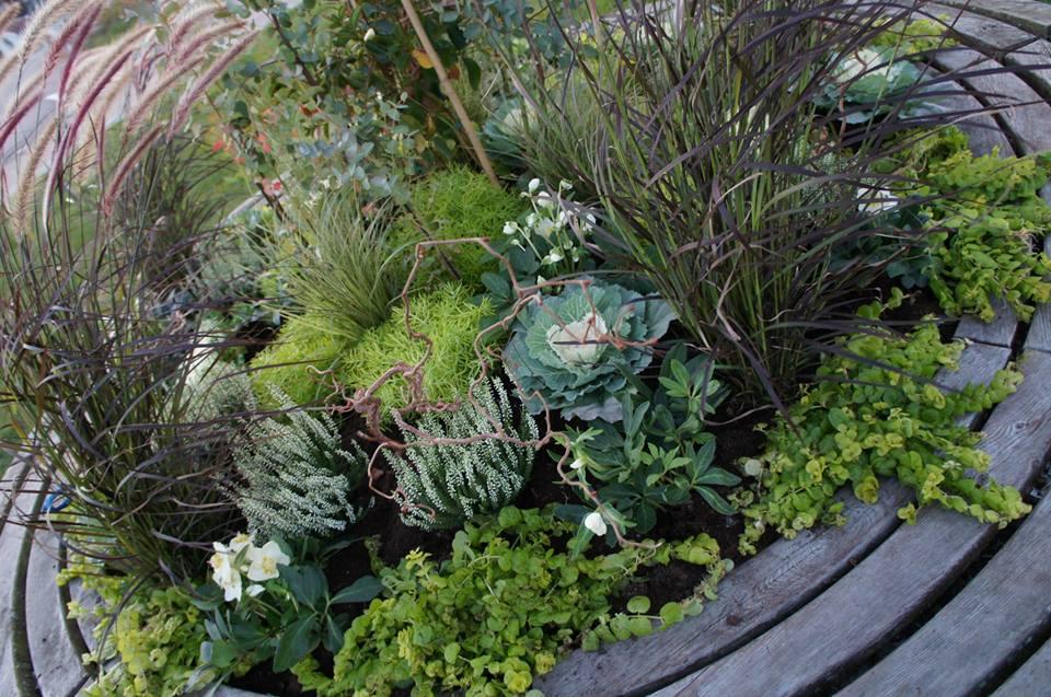 Detta är en av flera rondellers mitt hösten 2013, julrosor, pennisetumgräs, citronbollar och eucalypthus.