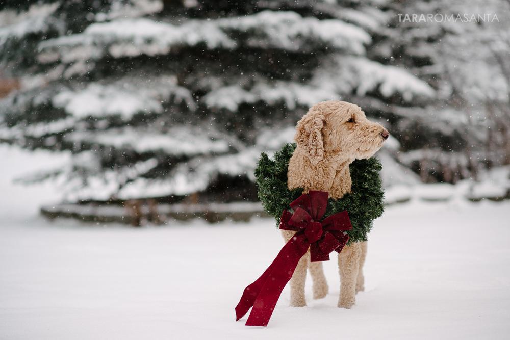 happy holidays labradoodle