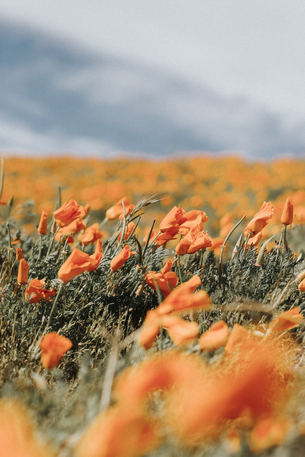 antelope valley poppy fields, spring 2017 visit california