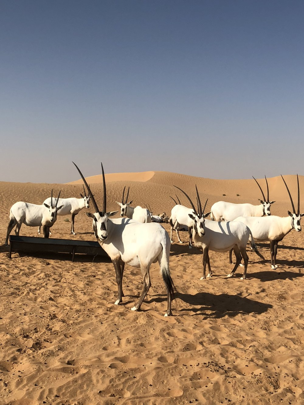 Oryx Dubai // Desert Safari // Best things to do in Dubai // The Style Sauce // Travel Blog