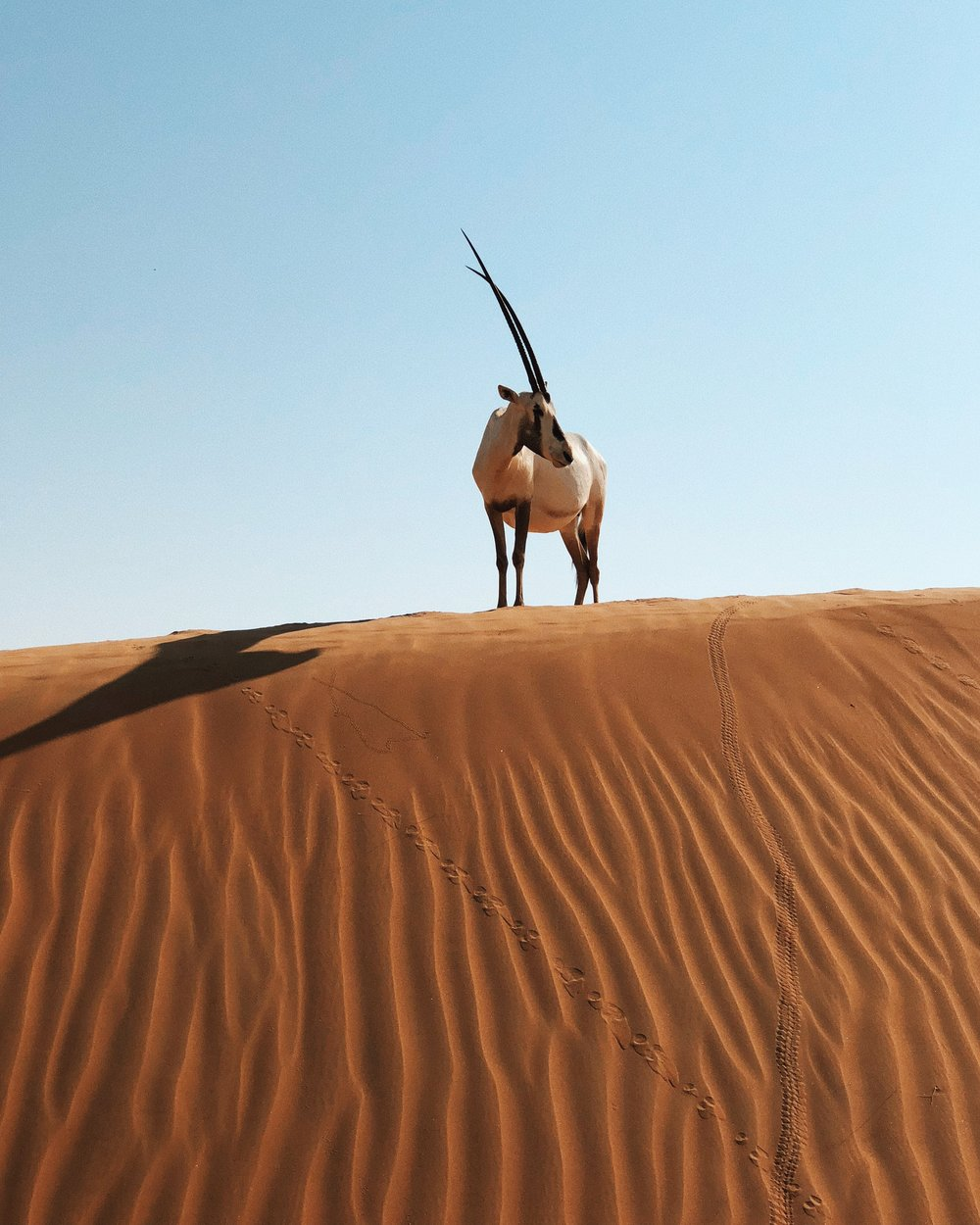 oryx // desert safari // visit Dubai // Travel Blog // The Style Sauce