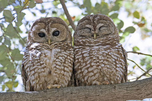 Northern Spotted Owls. Photo credit:  sustainablepulse.com