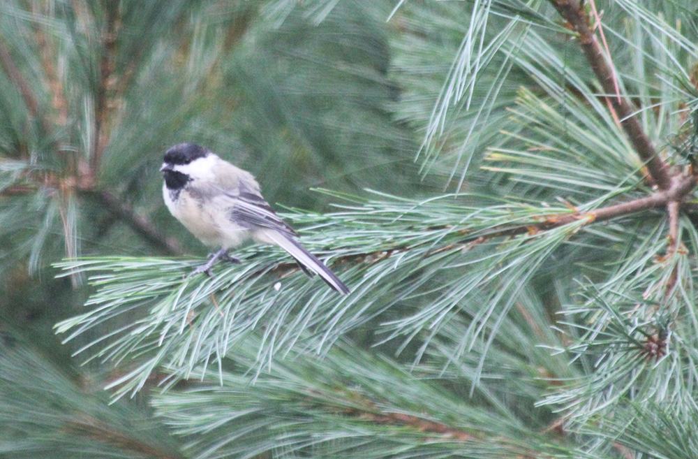 This is a Black-Capped Chickadee, the State Bird of Maine.