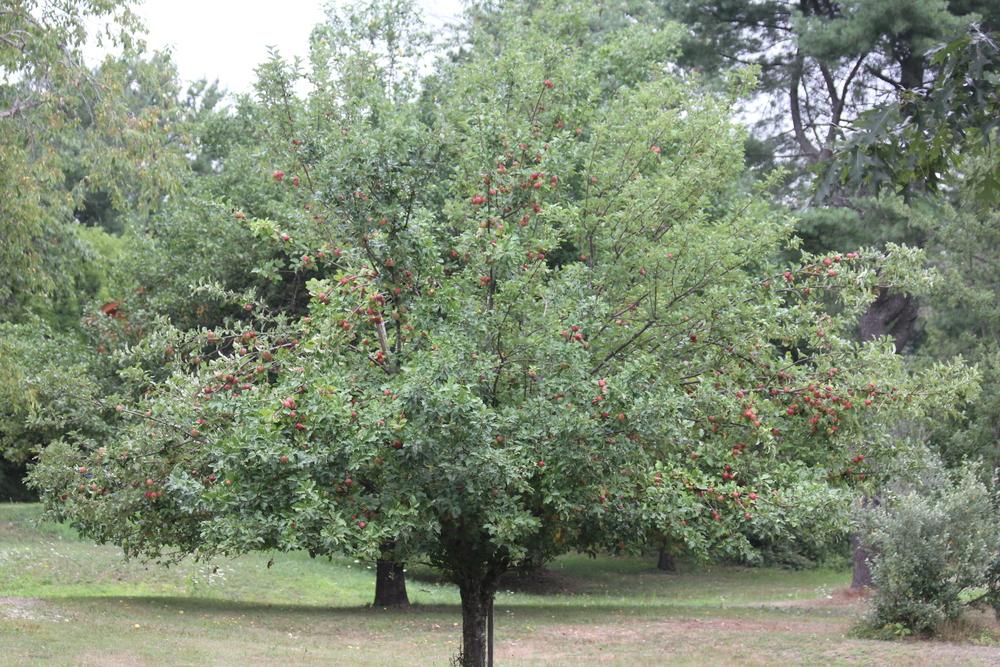 Red Apple Tree