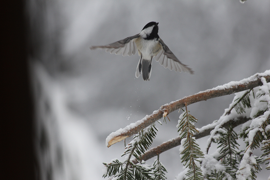 Chickadee taking flight.