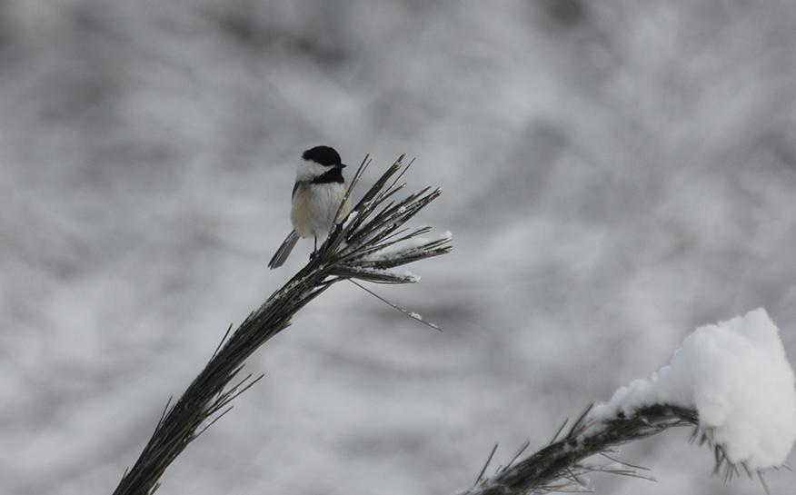 Chickadee on a branch.