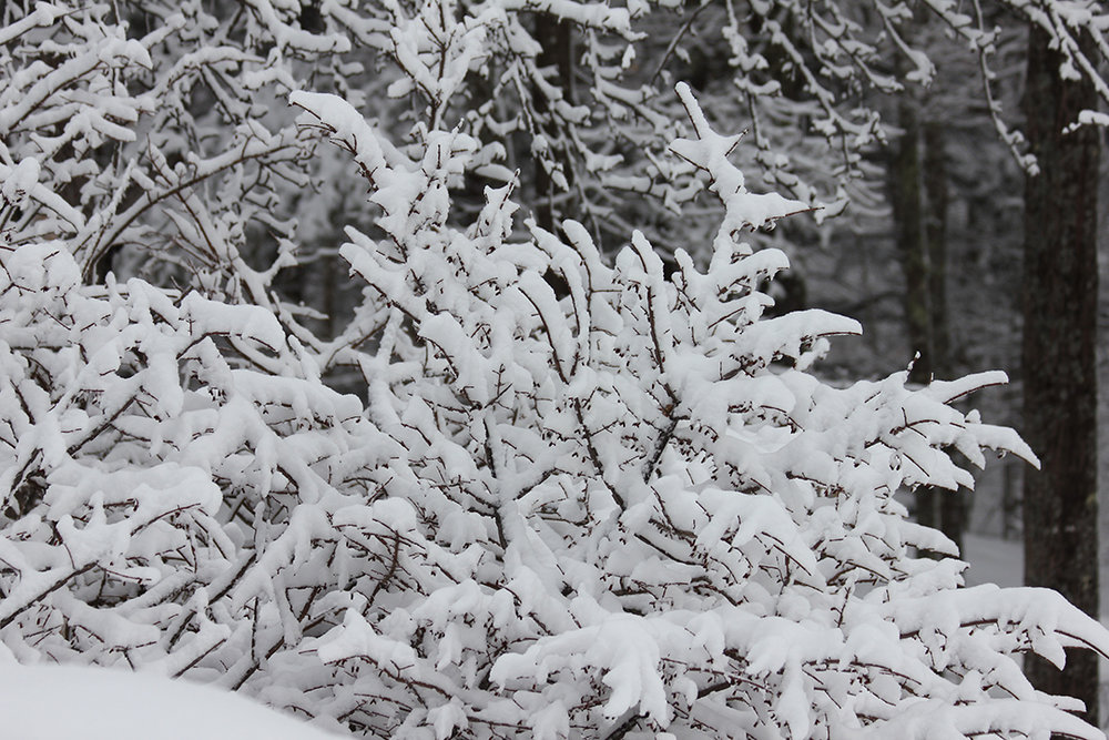 """Burning Bush"" covered in snow."