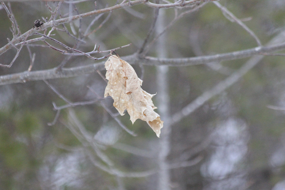 The last leaf.  Through blizzards and snow storms, somehow this single leaf has hung on.