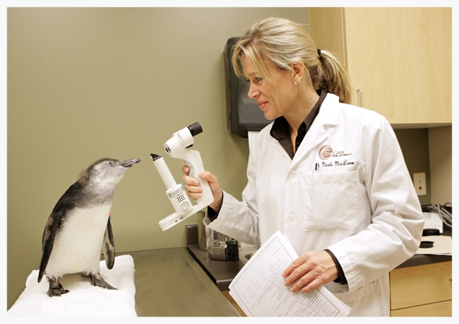 Dr. Nicole MacLaren examining a baby African Blackfoot penguin after performing cataract surgery.