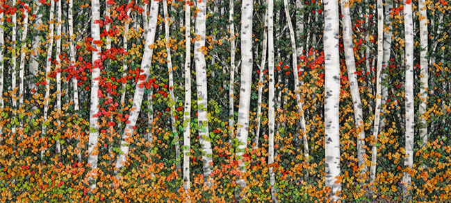 Brightly Colored Birch: Van Winkle Lake