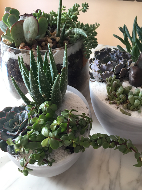 a variety of blue and green succulents planted in glass bowls  with white sand for the FINAL LAYER