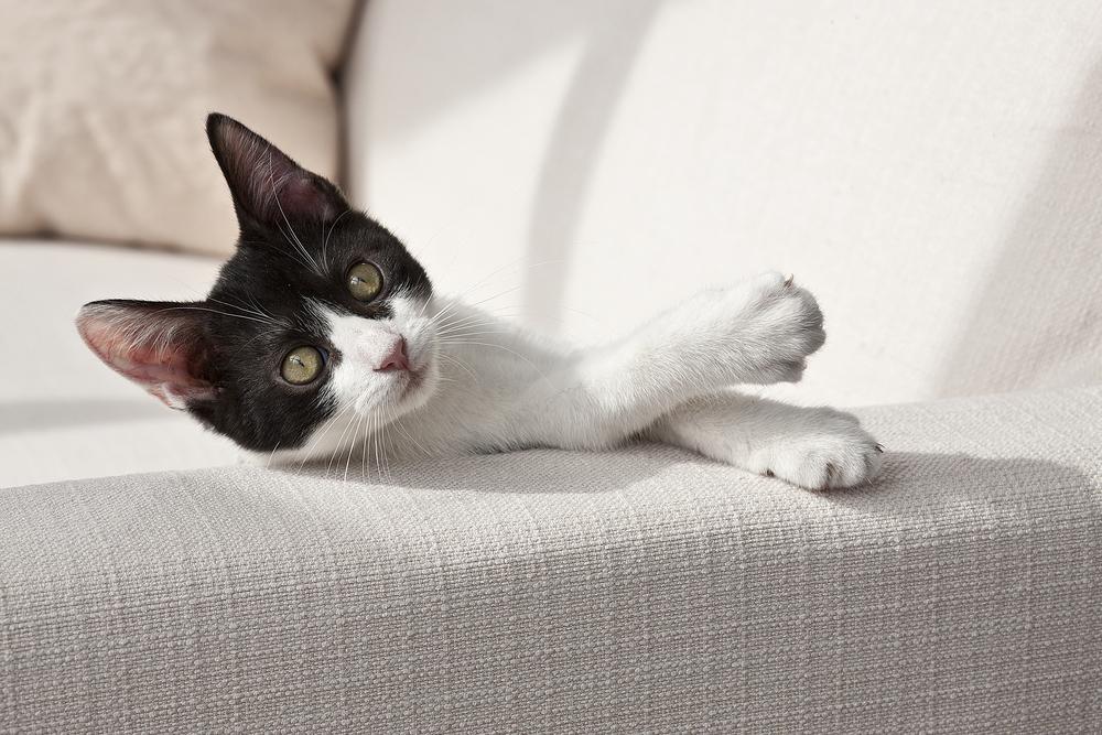 HIB_Kt_d_Si_Tuxedo_Kitten_112.jpg