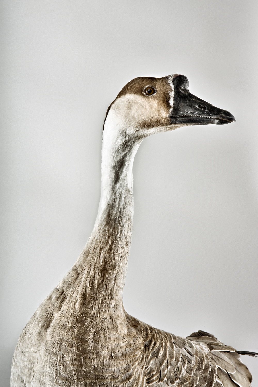 Goose4066.jpg