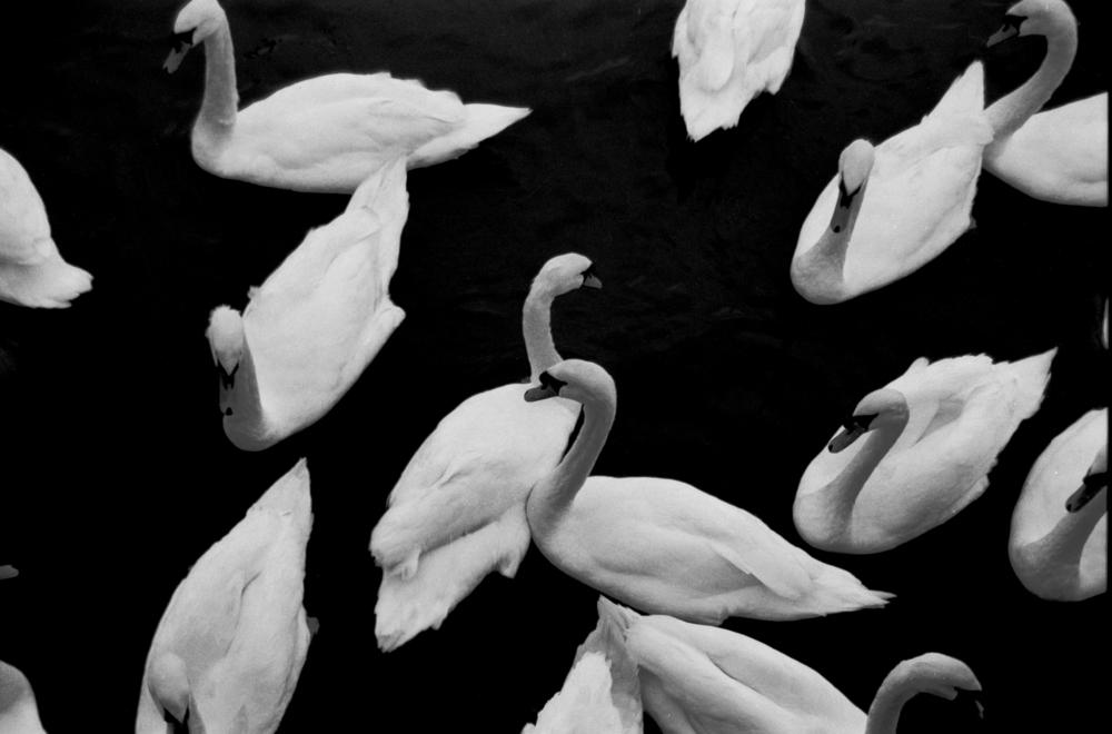 swans 1.JPG