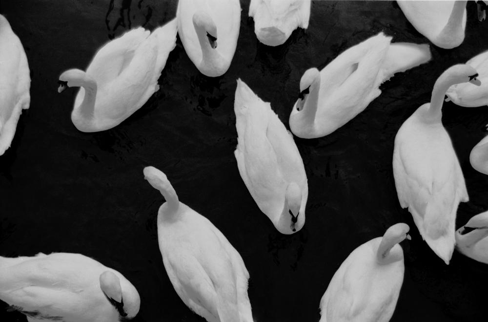 swans 2.JPG