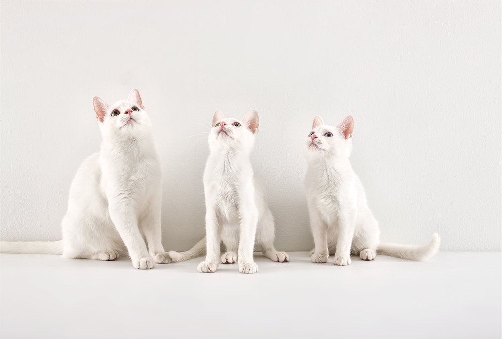 Morgan_white cats.jpg