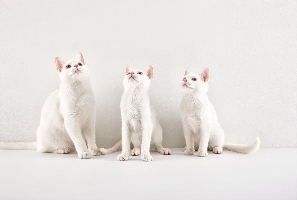 Morgan_white cats.jpg