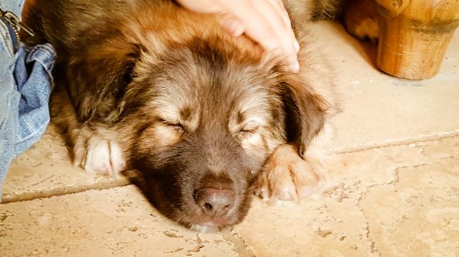 Sleeping Shepard Puppy