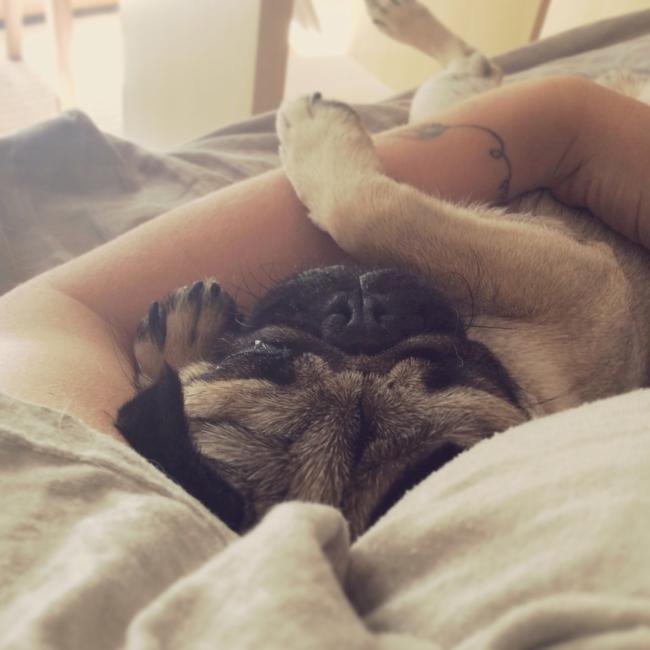Pug Puppy Snuggles