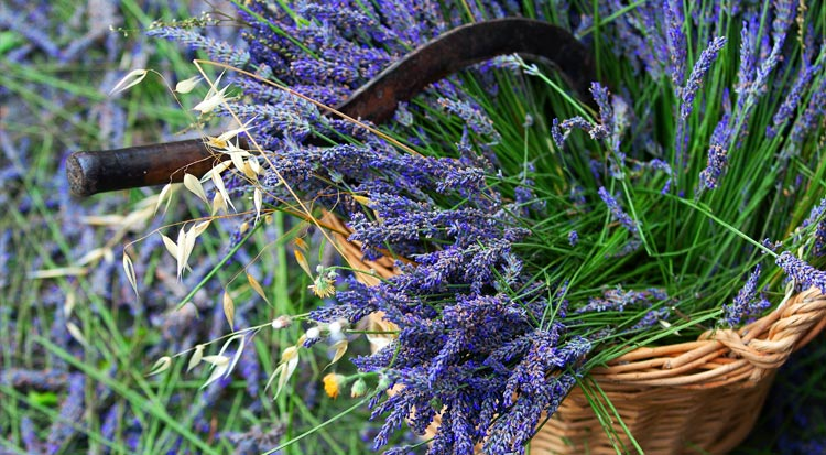 collecting_french_lavendar